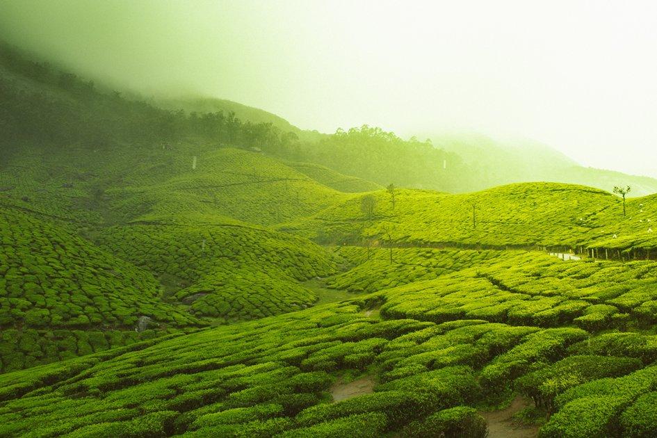 Tea Gardens of Kerala
